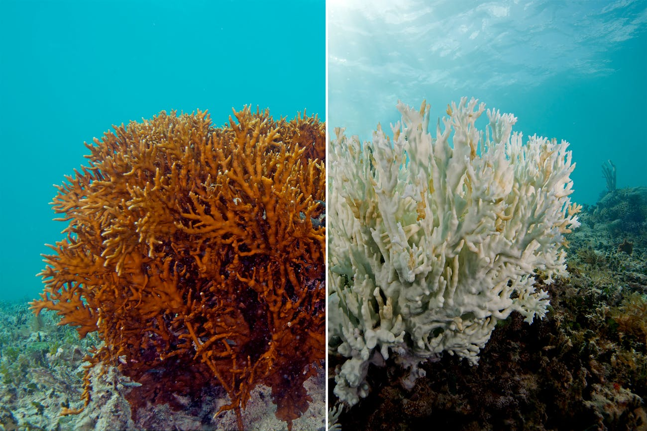 A fire coral before and after bleaching. The one on the left is a healthy fire coral, while the one on the right is completely bleached. Photographed by The Ocean Agency / XL Catlin Seaview Survey / Richard Vevers.