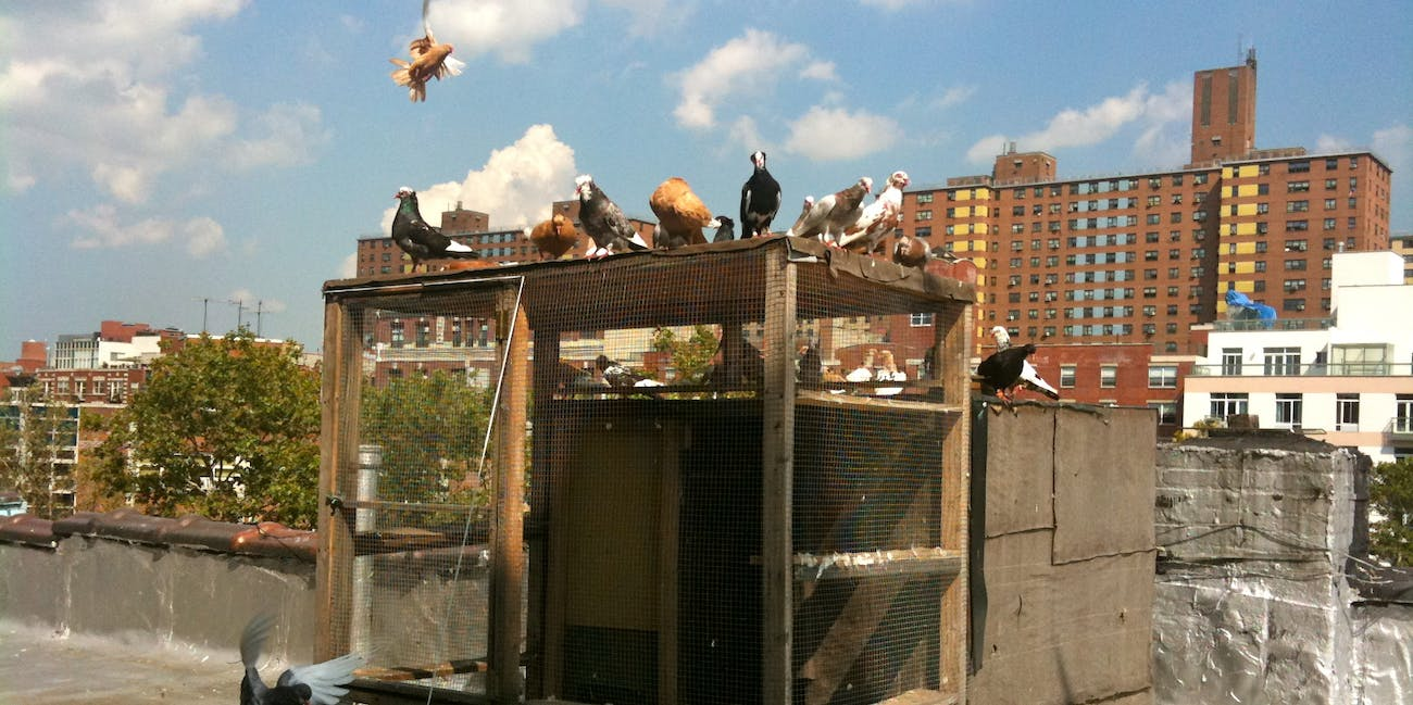 fancy pigeons on my roof