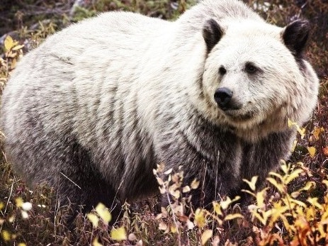 Incidents of Arctic Hybridization on the Rise
