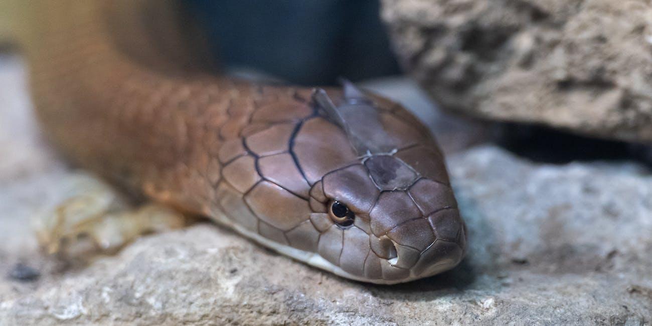 King Cobra Closeup