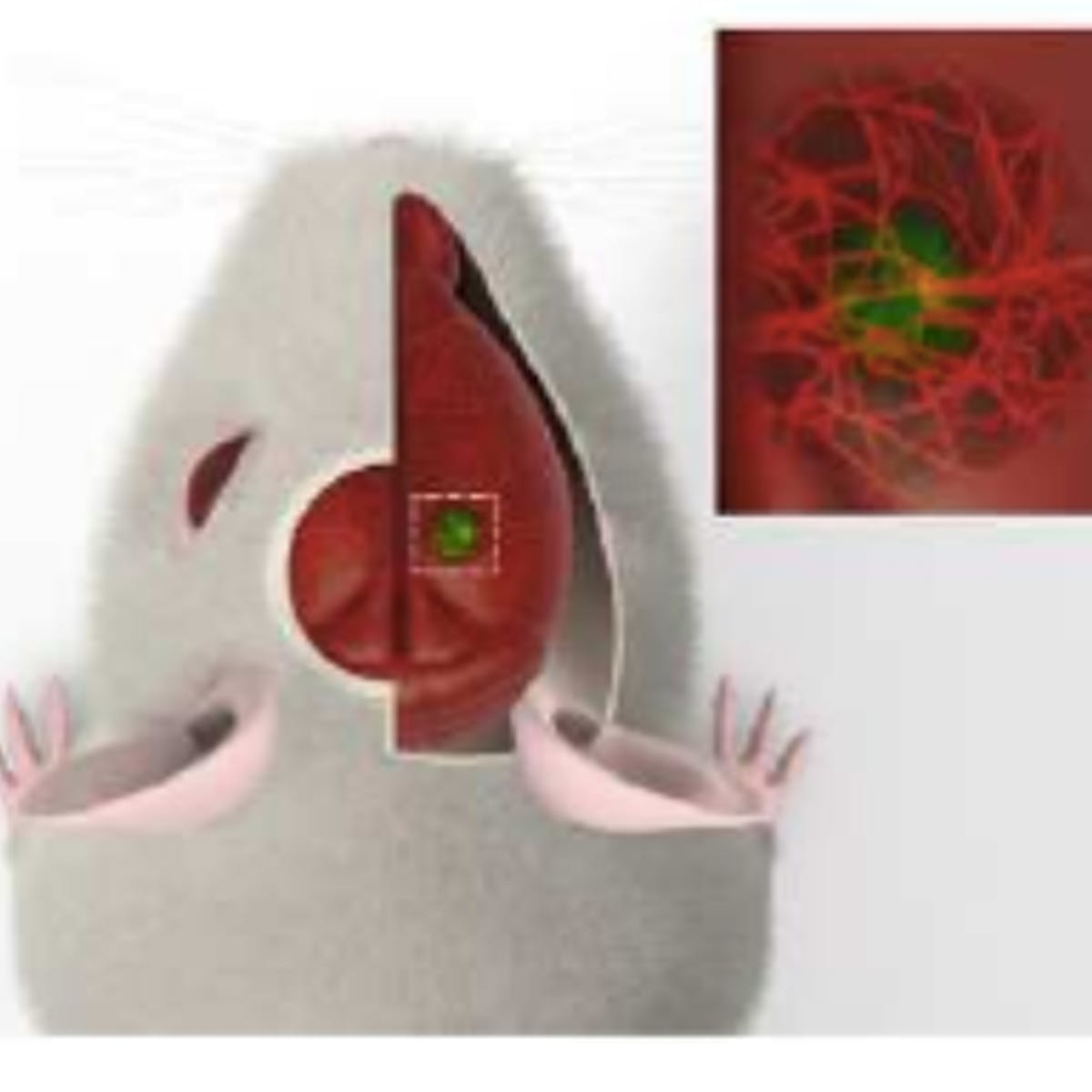 Human Mini-Brains Implanted Into Mice Didn't Just Survive, They Integrated