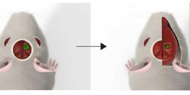 brain organoid mouse