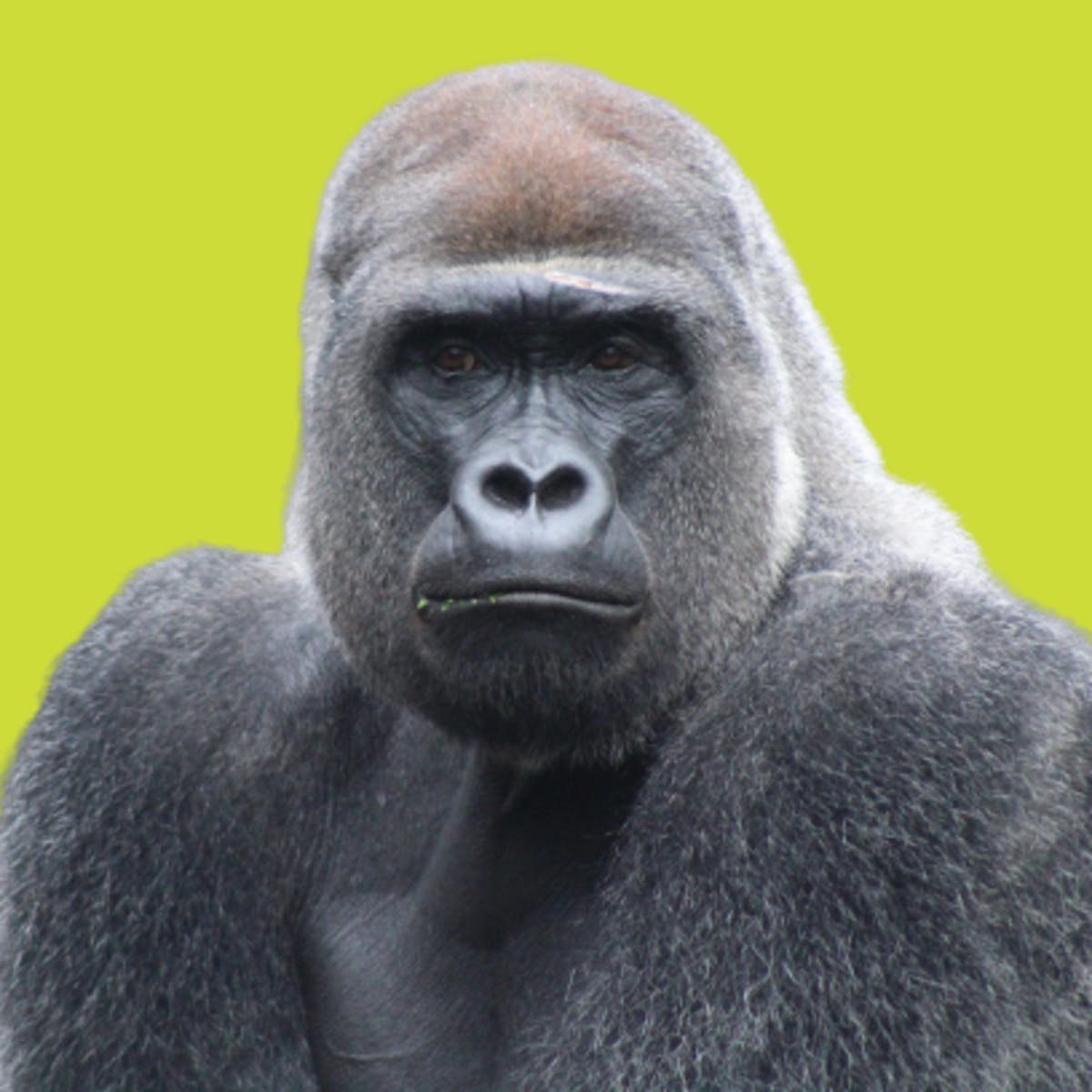 How gorillas eat African walnuts could make us rethink early human diets