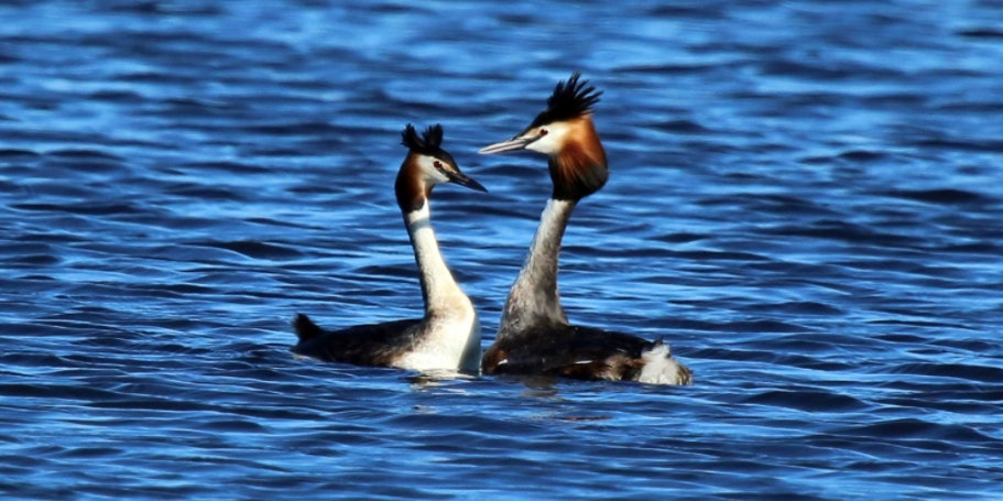 Head shaking is another form of grebe PDA.