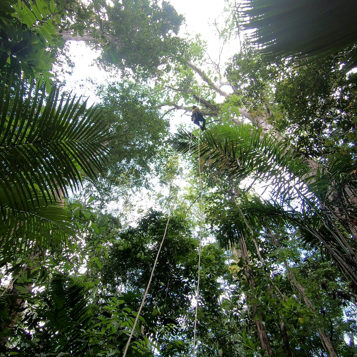 The Amazon's Tallest Trees Are Safe (for Now)