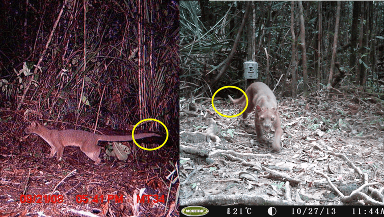 Flat Tail, seen in 2008 as a young pup (left) and 2013 as a mature male (right). We were able to follow this fossa as he grew up thanks to his strange and unique tail tip.