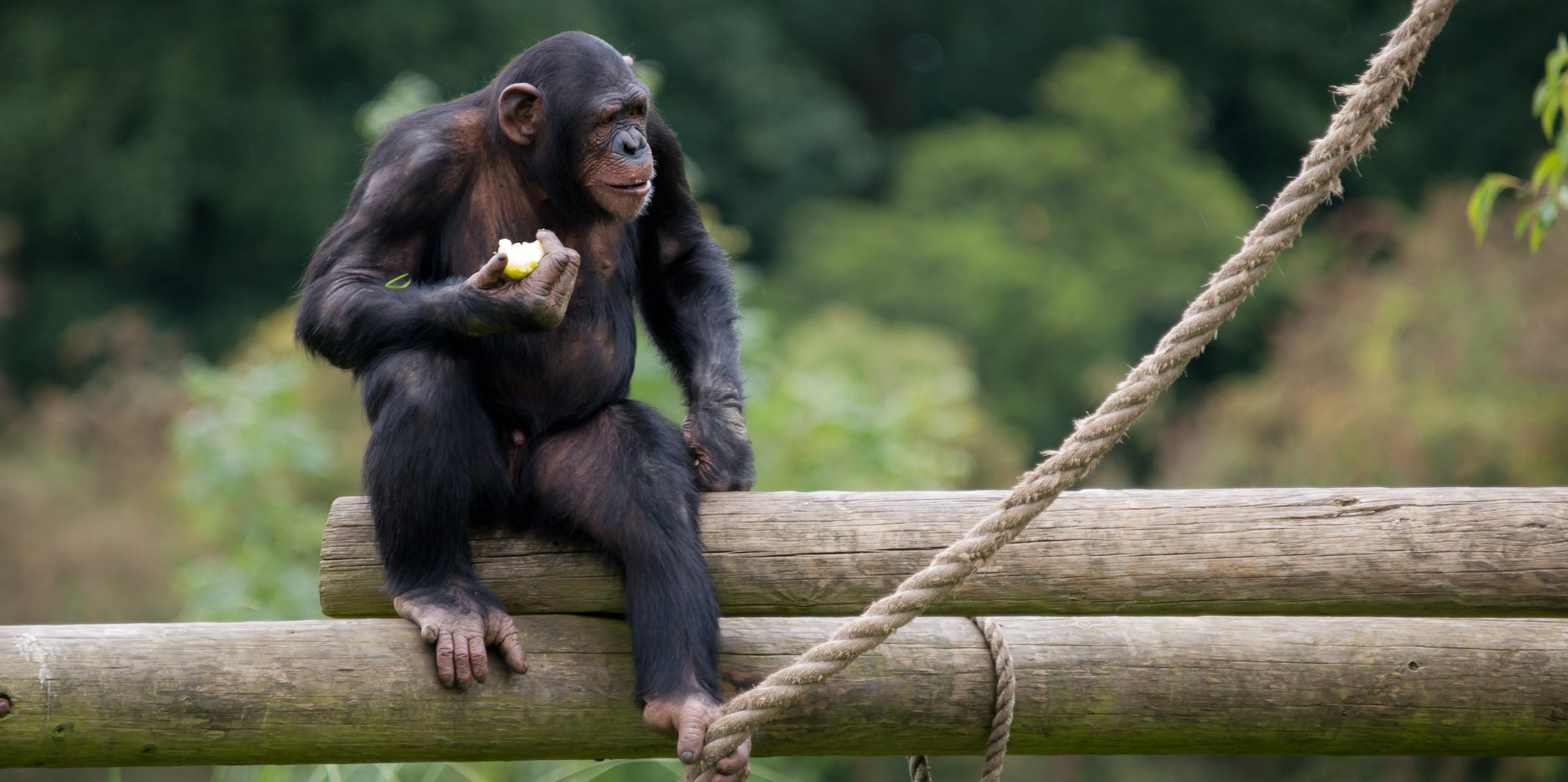 chimpanzee self-control restraint willpower