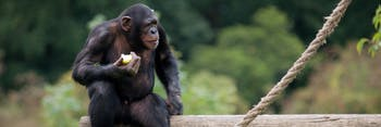 chimpanzee self-control restraint willpower