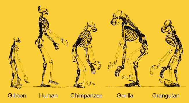 ape skeletons