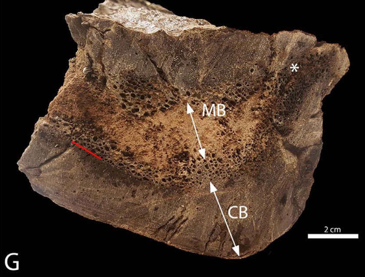 This cross section shows medullary bone from a Tyrannosaurus rex femur, evidence that the dinosaur was pregnant when she died.