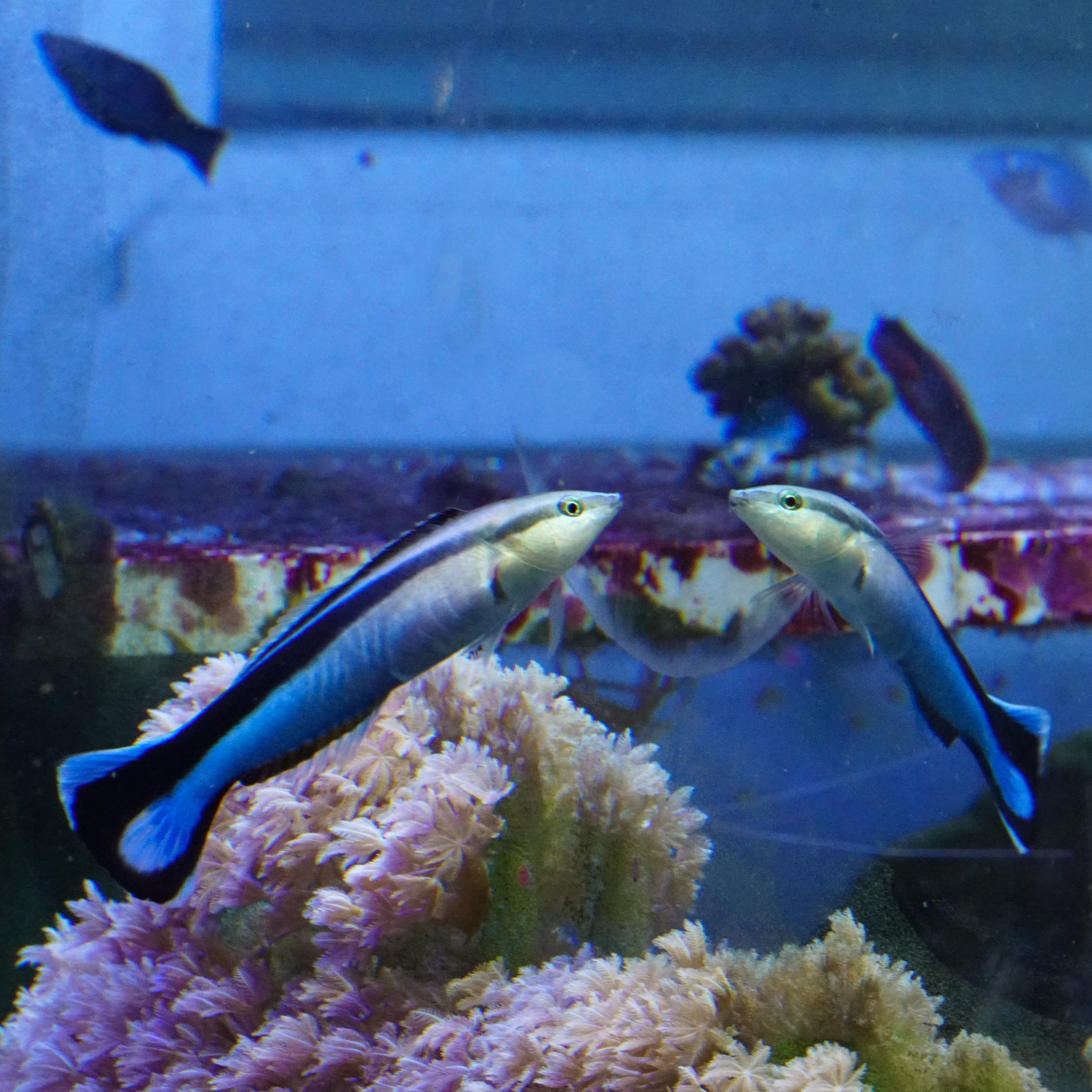 Animal Cognition: Controversial Study Argues Cleaner Wrasse