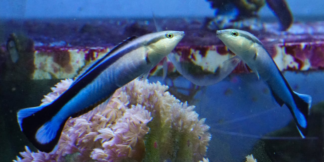 A cleaner wrasse gazes at itself in the mirror. Researchers say the fish is one of just a small number of animals that can recognize itself.