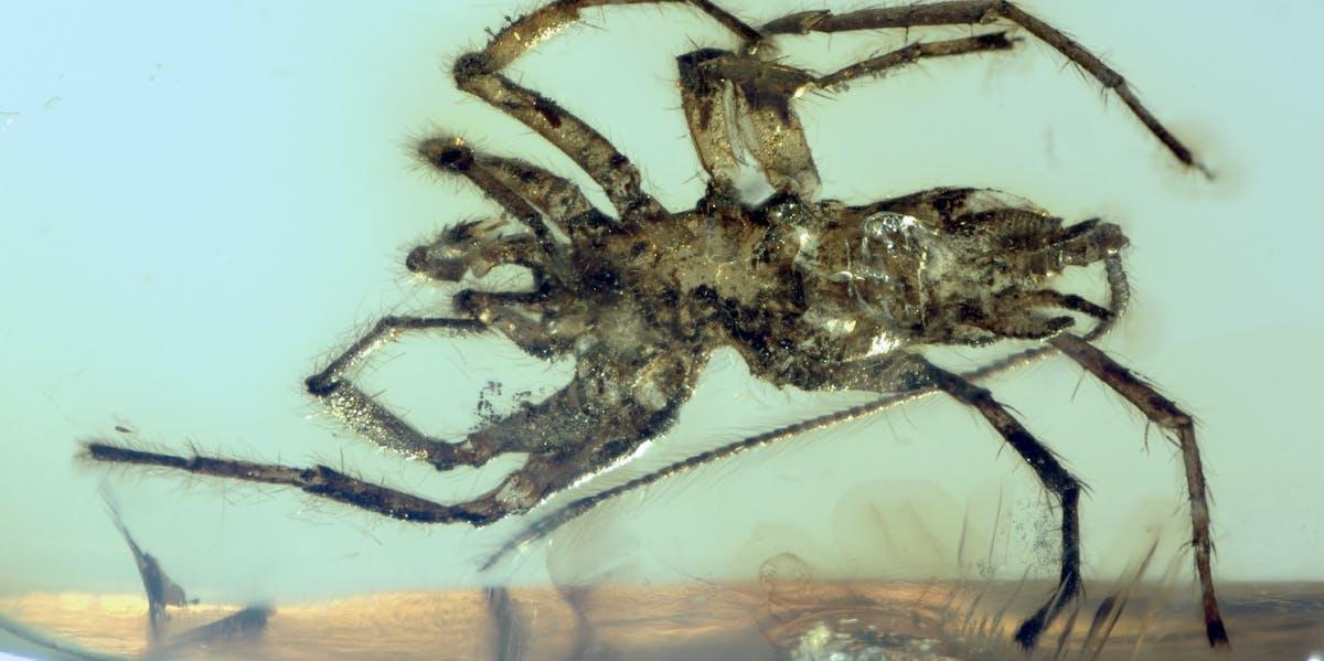 ancient spider ancestor