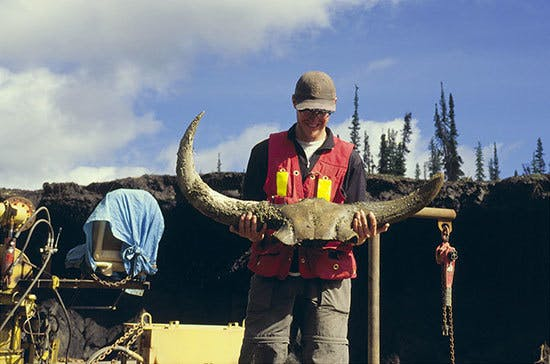 The dug up bison skull from Yukon.