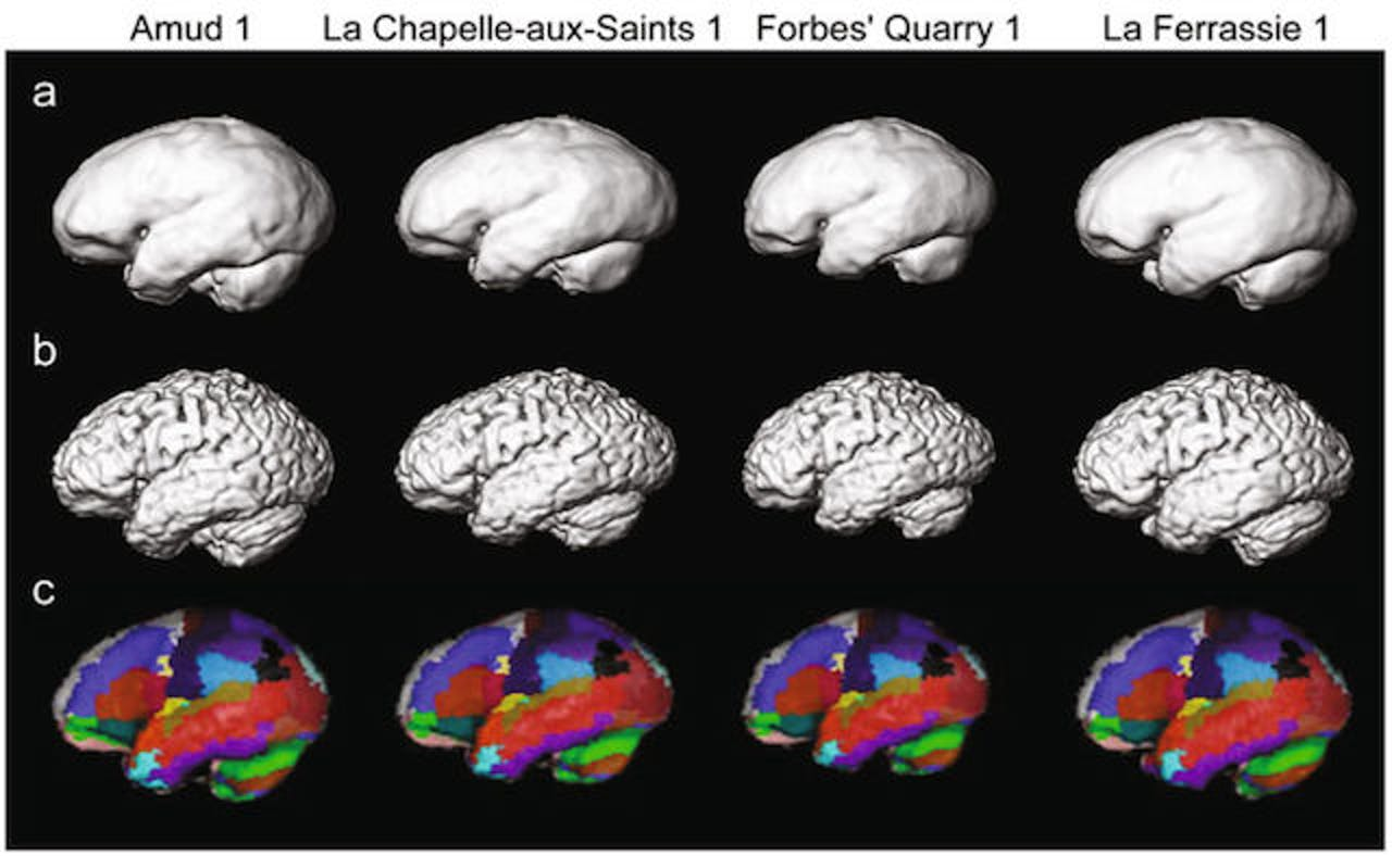 Brains, Neanderthal, humans