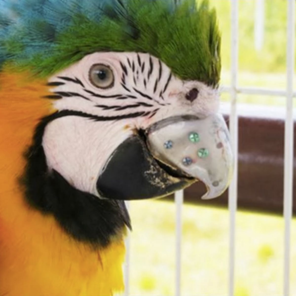 3D Printing Turned This Captive Parrot Into a Titanium