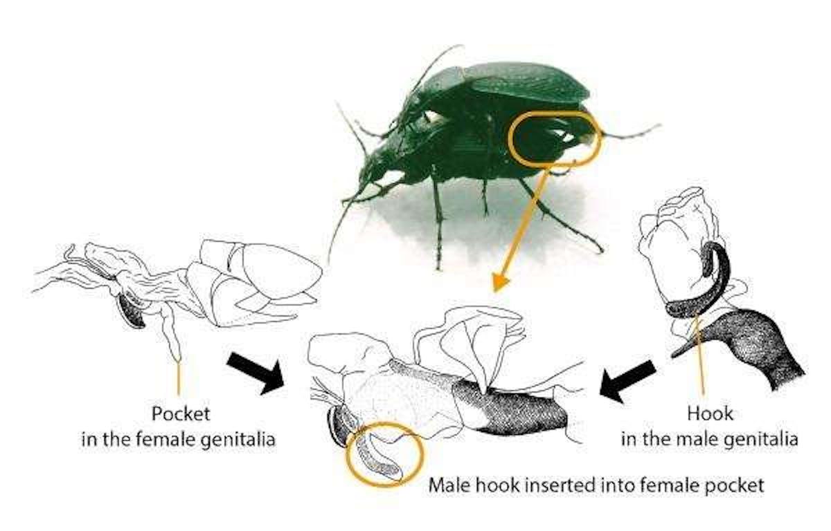 beetle sex