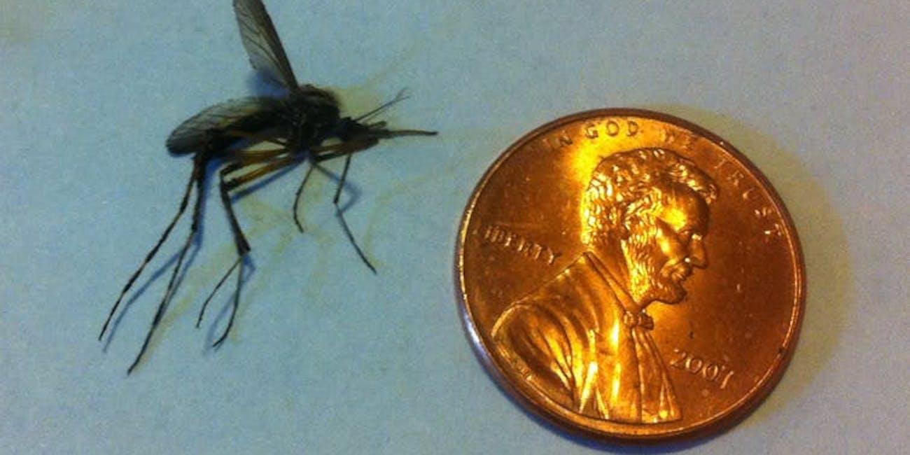 giant mosquitos