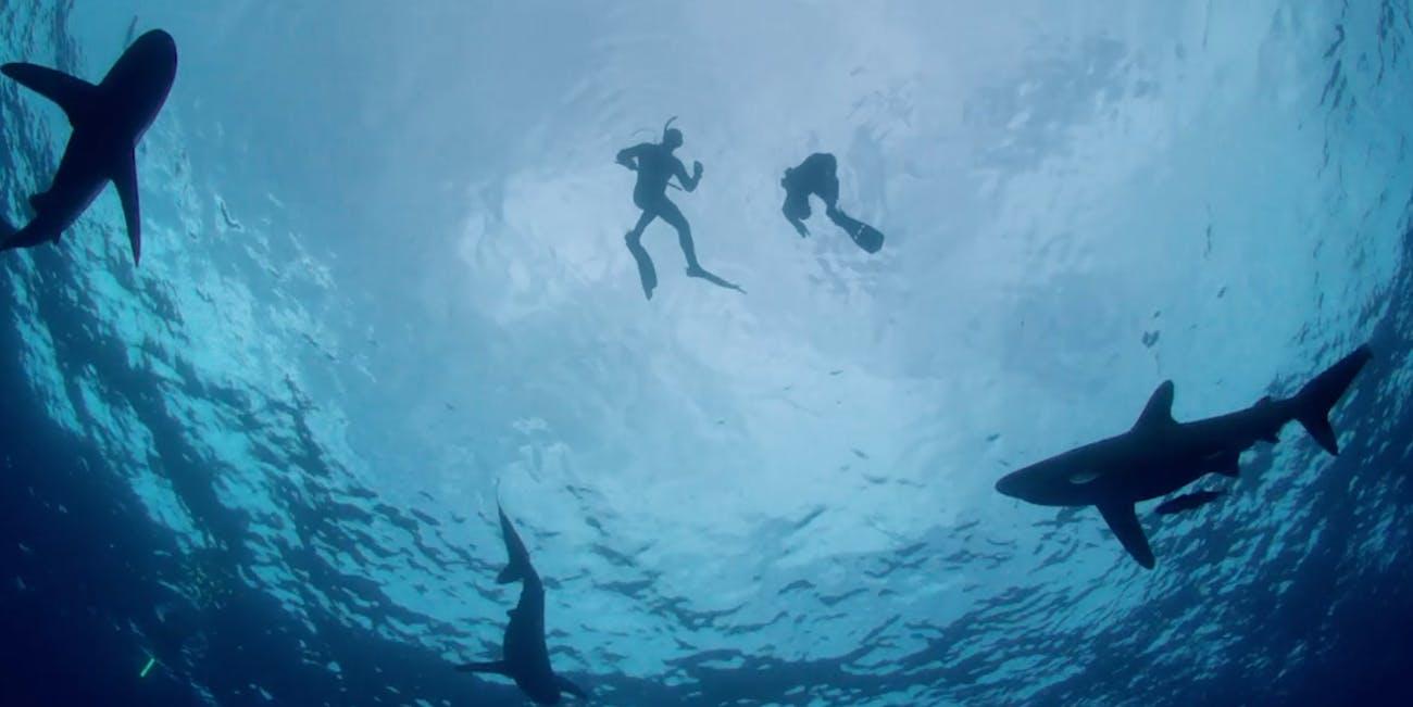 shark week oceanic  white tips