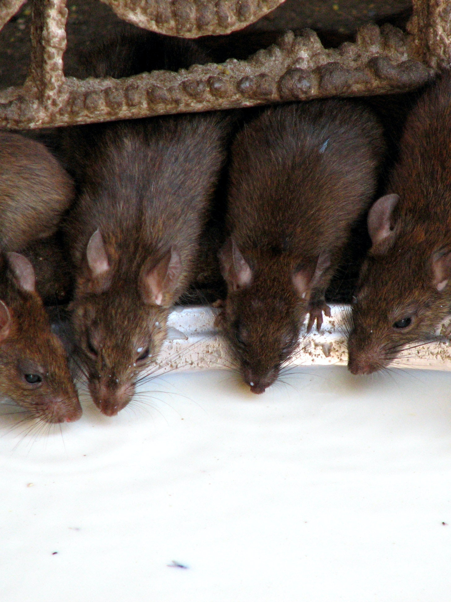 Some rats and related rodents in the United States still carry Yersinia pestis, the microbe that causes plague.