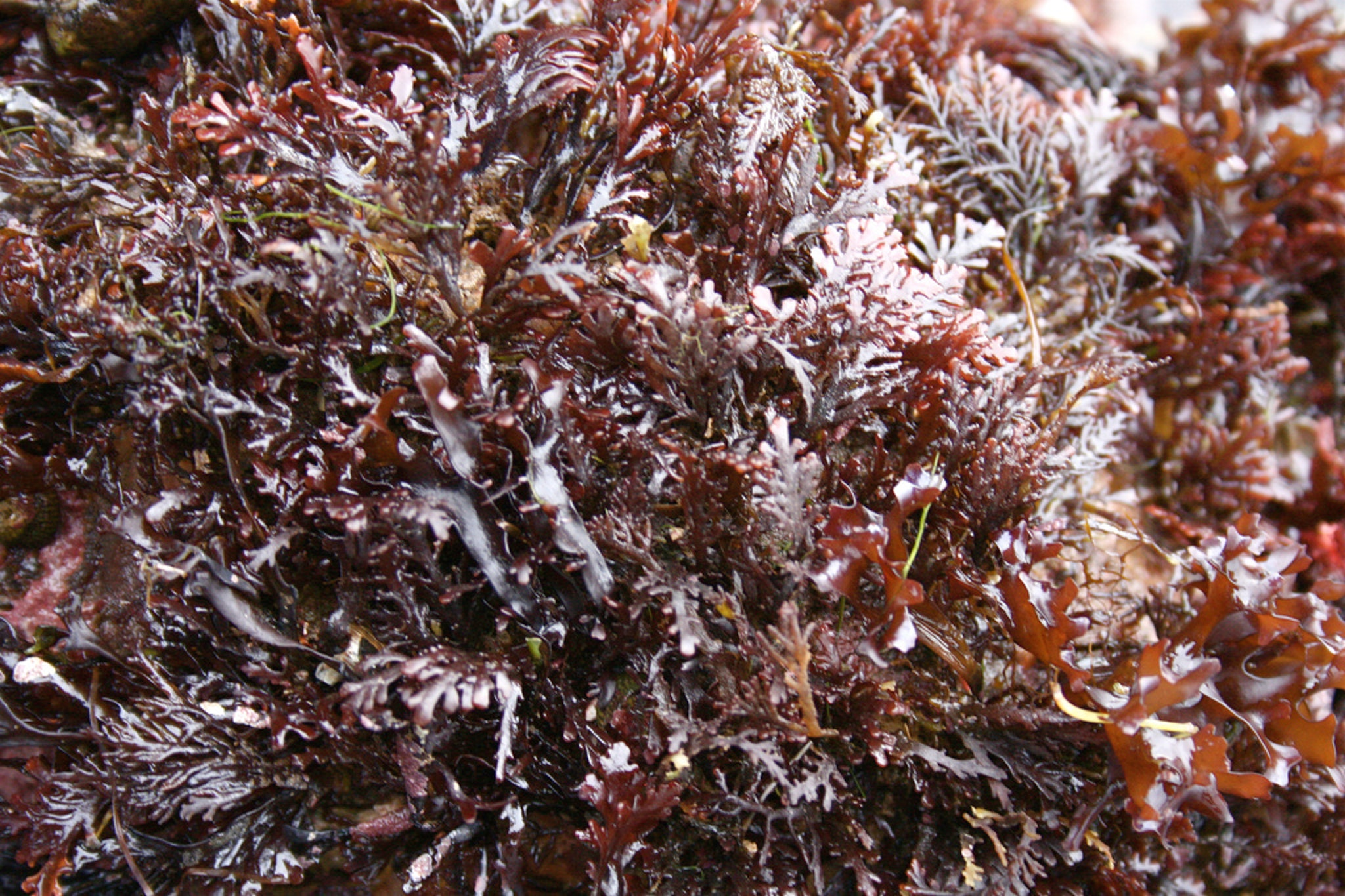 The feathery looking kelp is pepper dulse.