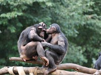 chimpanzees sniff dating