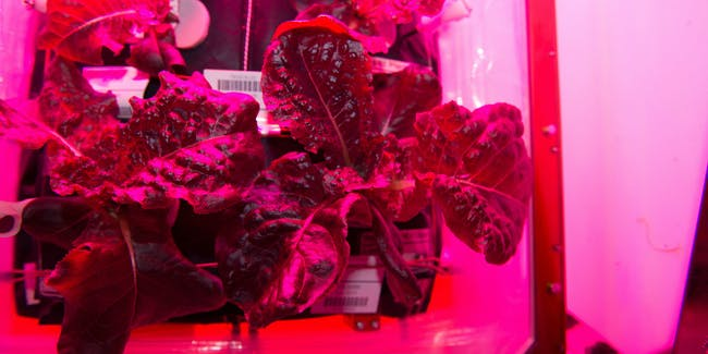 space lettuce nasa