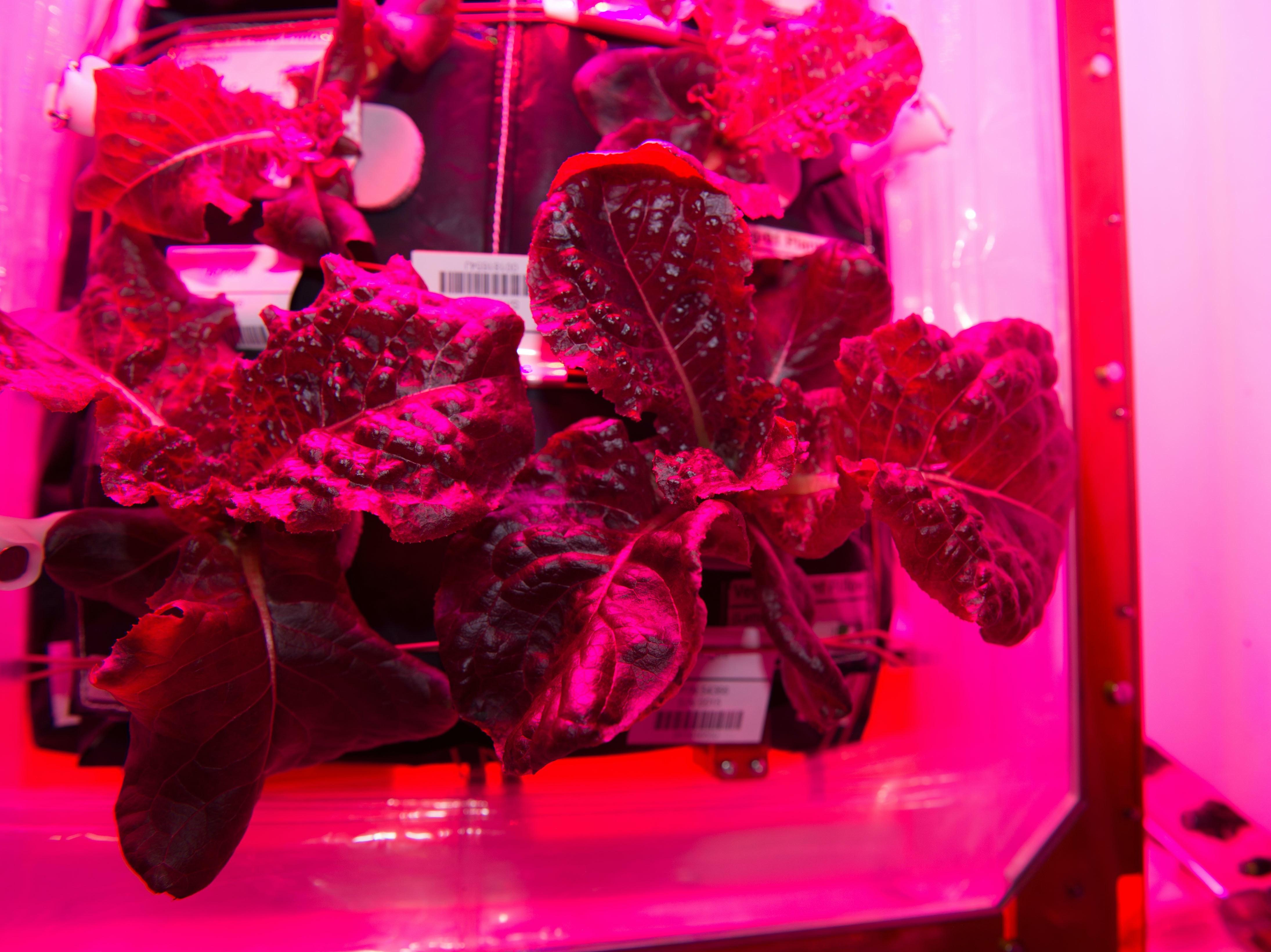 space lettuce nasa