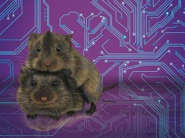 prairie vole voles monogamy rodent babies couple social pair bond