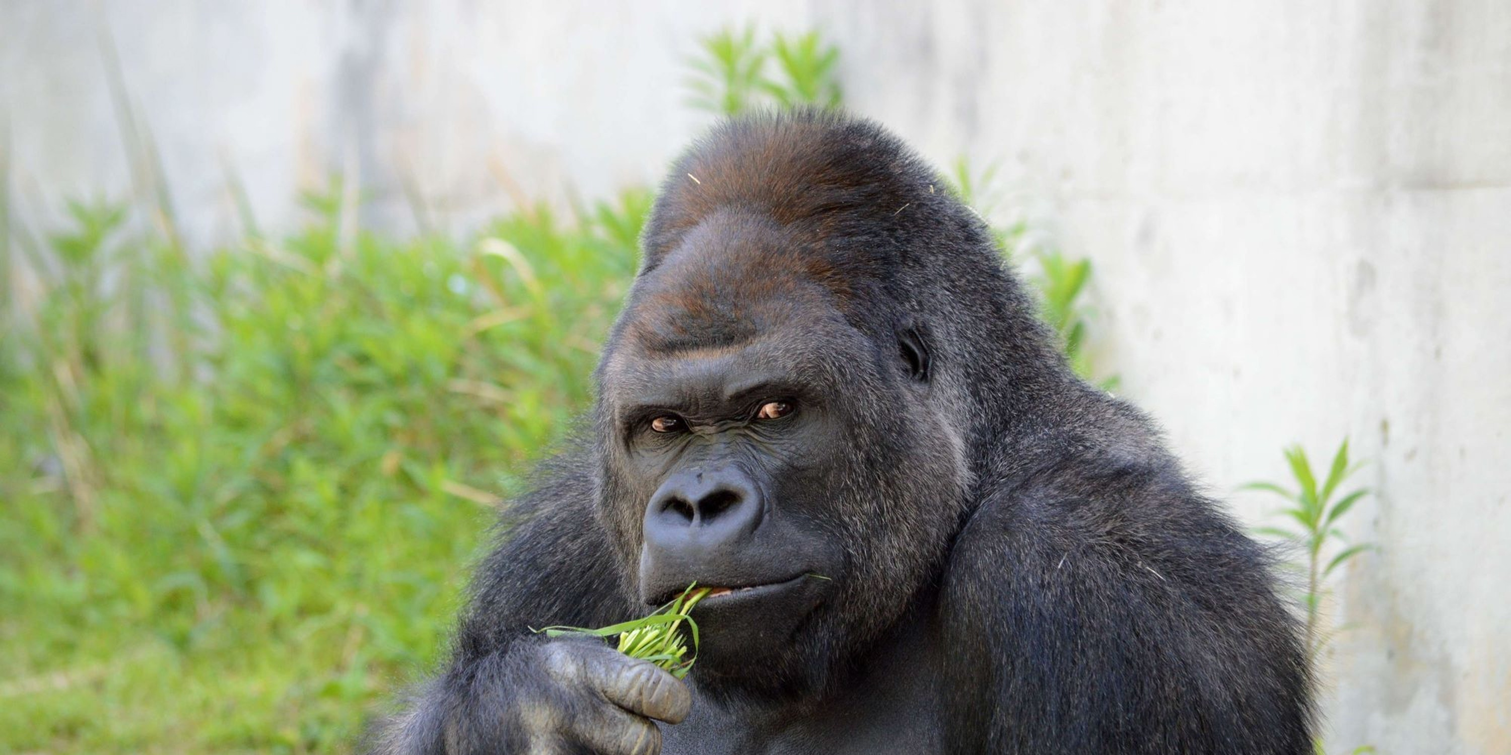 The Scientific Reason the Internet Wants to Bang This Handsome Gorilla
