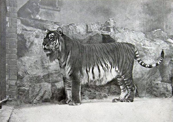 A Caspian tiger in 1895.