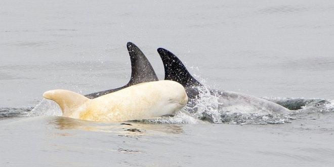 Biology Predicts Life Will Suck for Rare Albino Dolphin