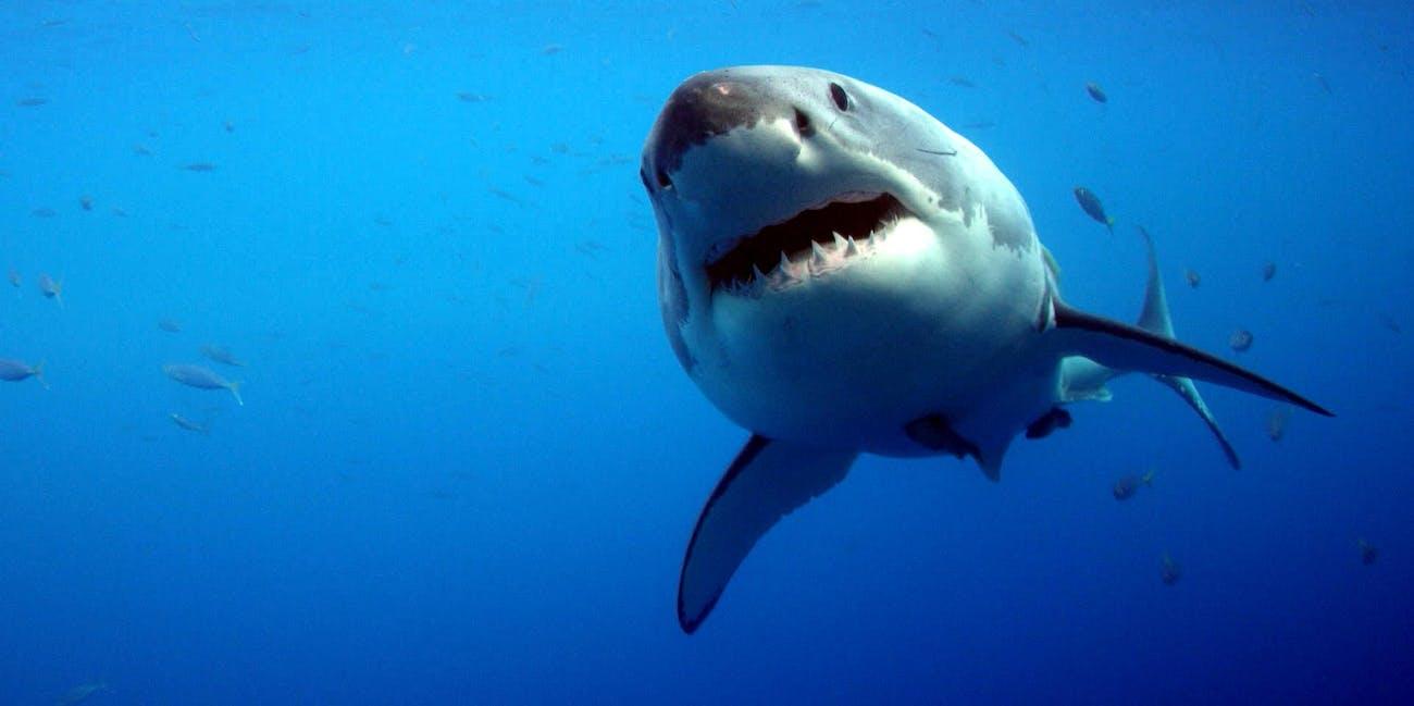 shark week 2018 great white shark nursery is terrifying but kinda