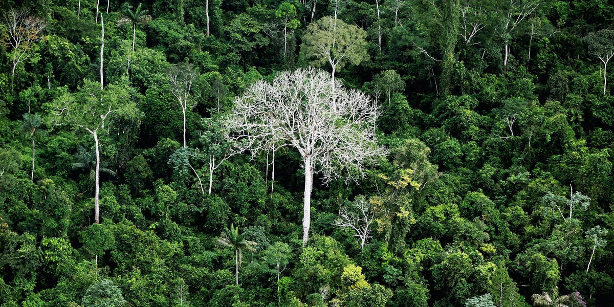 Trees In A Brazilian Section Of The Amazon Rainforest
