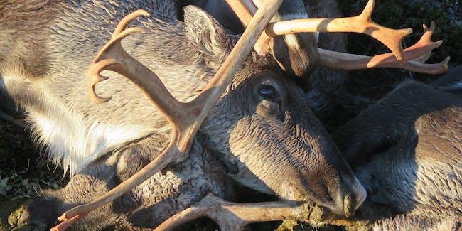 Lightning Kills 323 reindeer Norway