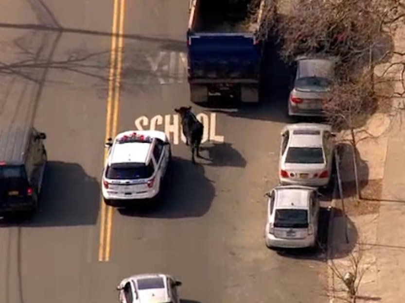 An escaped cow led New York Police in a chase through Jamaica, Queens.