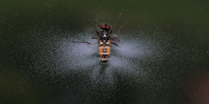e. muscae fly fungus exploding