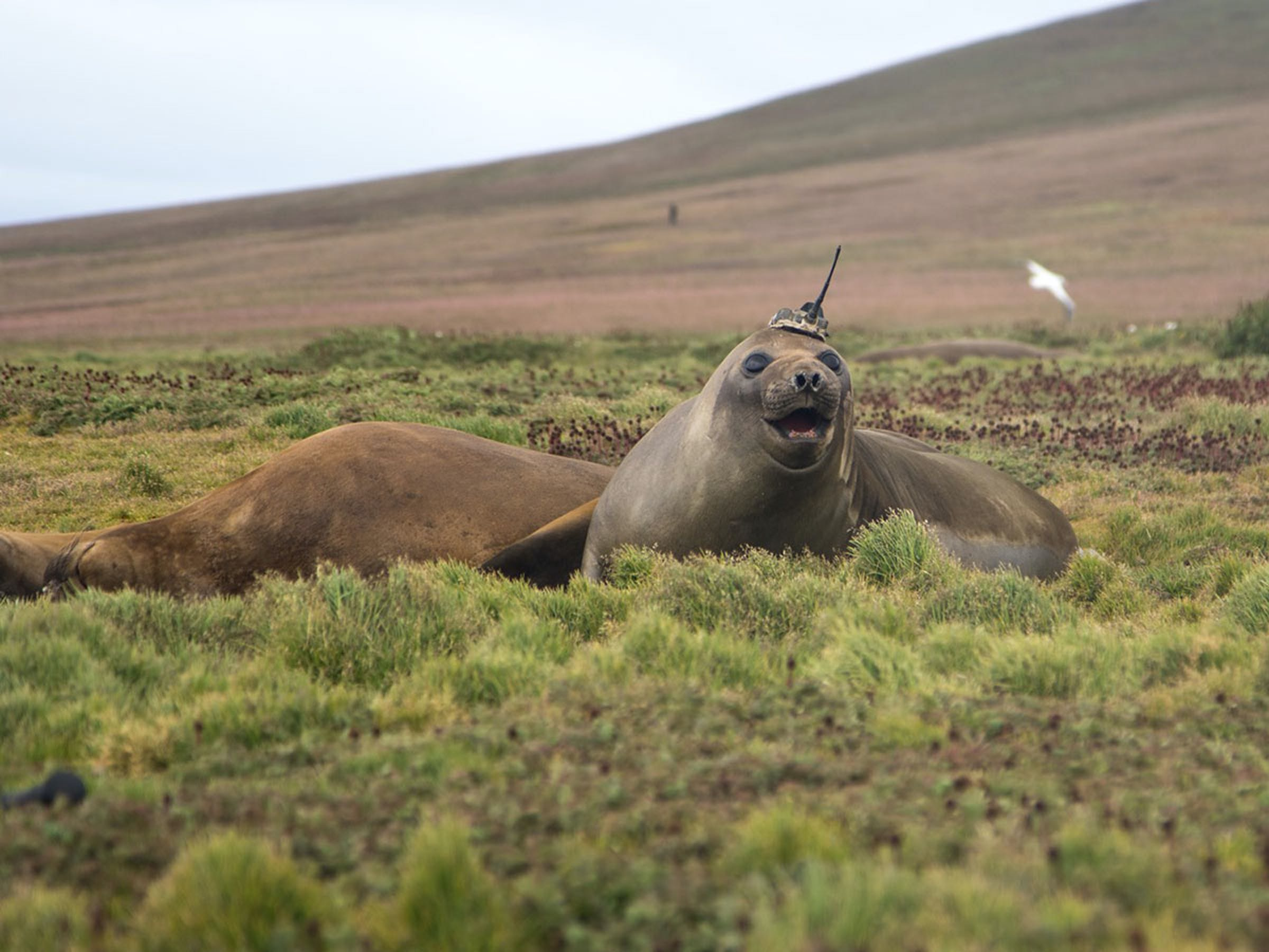 The large elephant seal was outfitted with an antenna to measure heat in ocean currents.