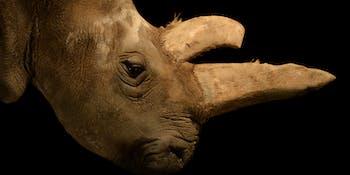 northern white rhino female