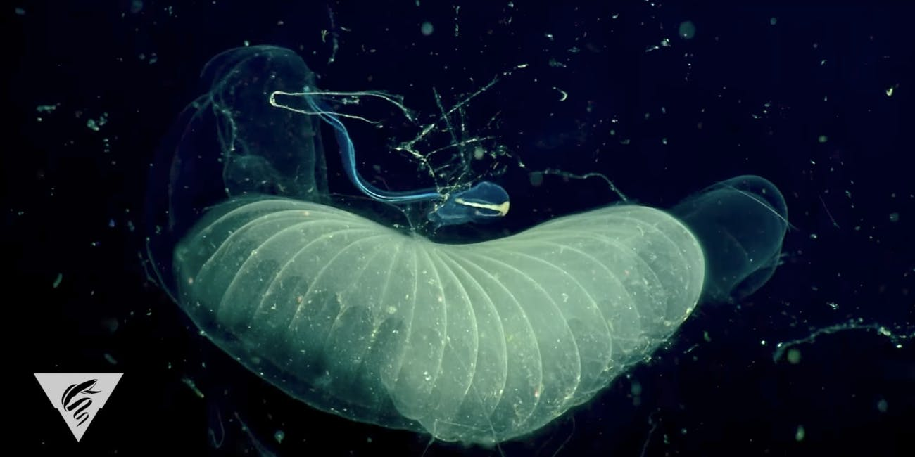 The giant larvacean Bathochordaeus