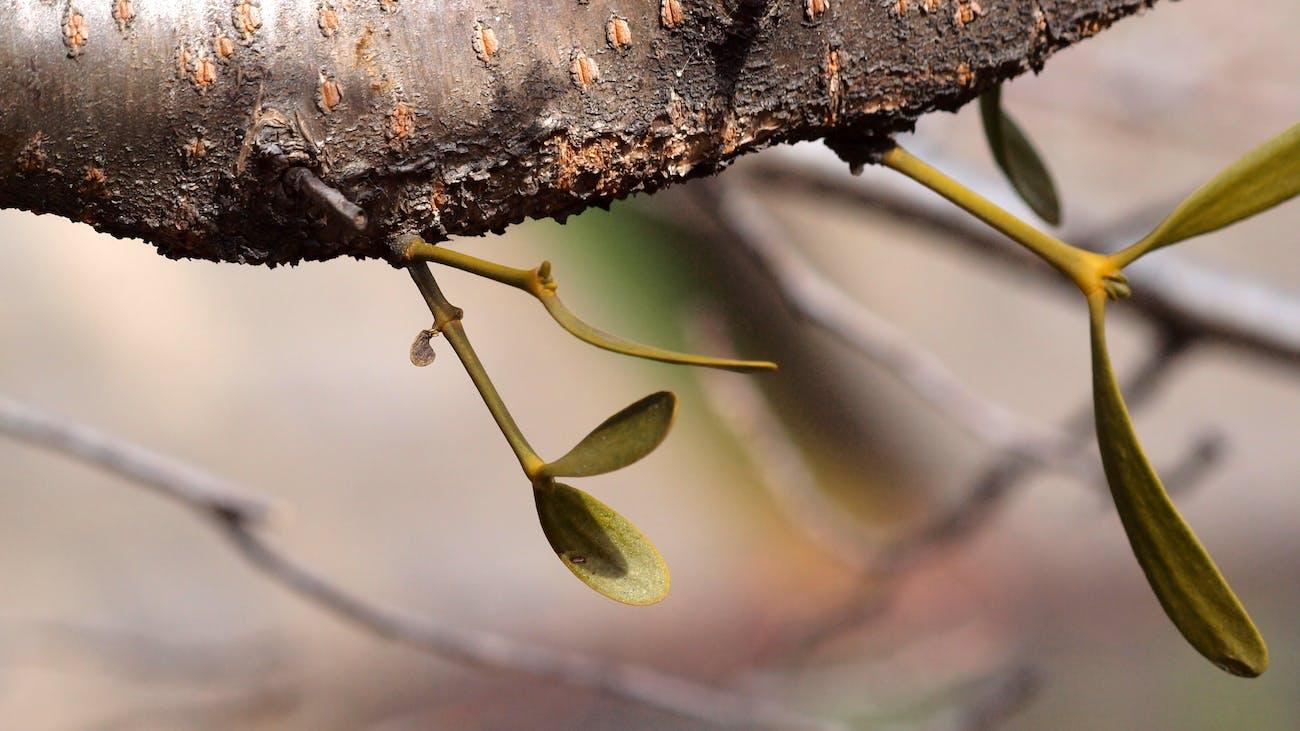 Baby mistletoe