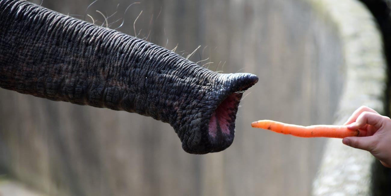 carrot elephant