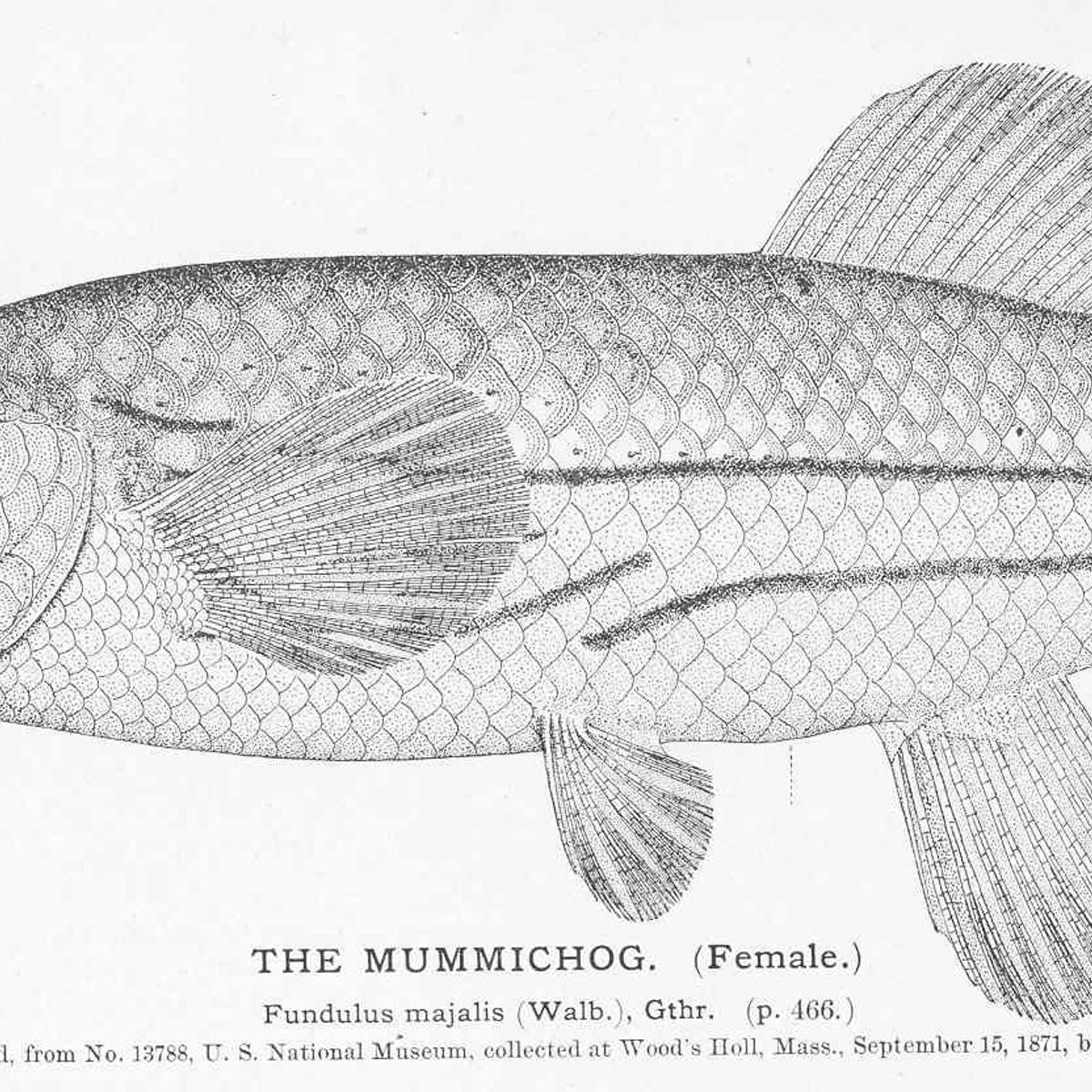 What Is the Mummichog? The Most Famous Fish You've Never Heard Of