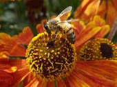 Good News for Honeybees: 2016 Population Results are Not 'Horrible'