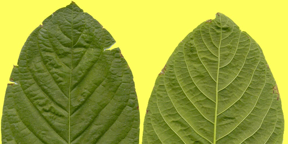 Kratom Could Be Illegal Before It Gets a Chance to Solve the