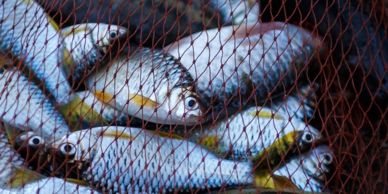 fish caught in a net