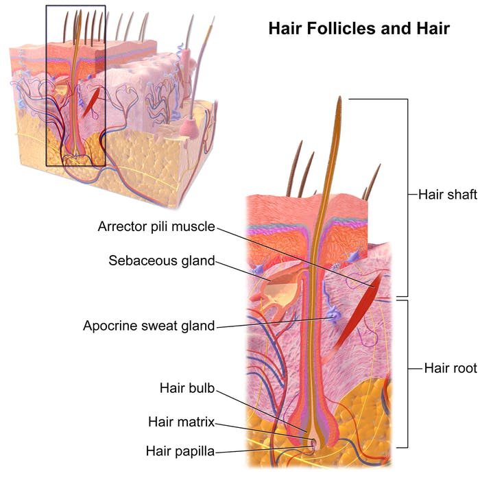 hair follicle shaft male pattern baldness