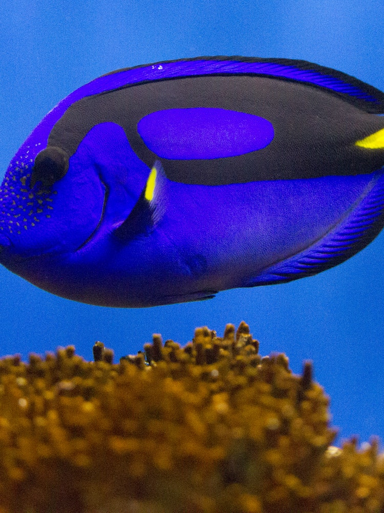 Scientists are worried that the 39 finding nemo 39 sequel will for Blue clown fish