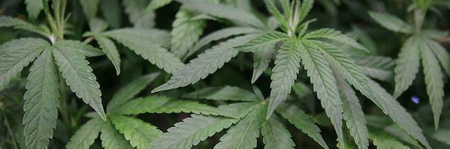 weed, marijuana, 420, kush, pot, dank kush, thc, what are pot leaves