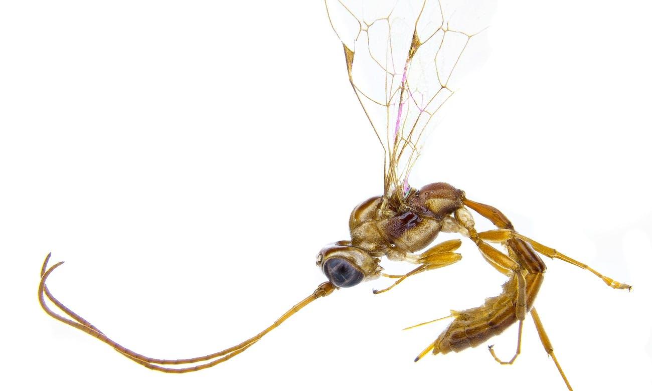 lusius malfoyi wasp